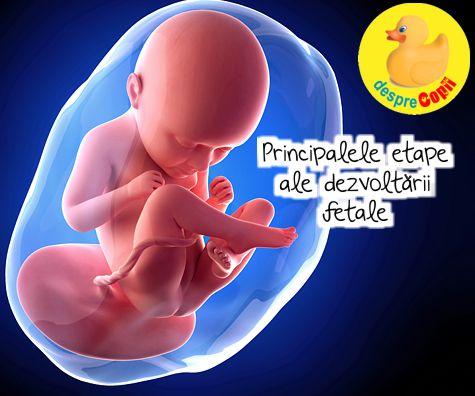 Principalele etape ale dezvoltarii fetale